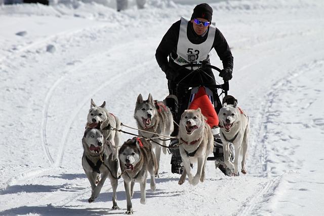 Activité d'hiver en Islande, le chien de traineau