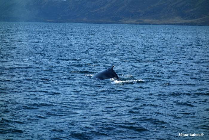 Whale watching : où voir des baleines en Islande ?